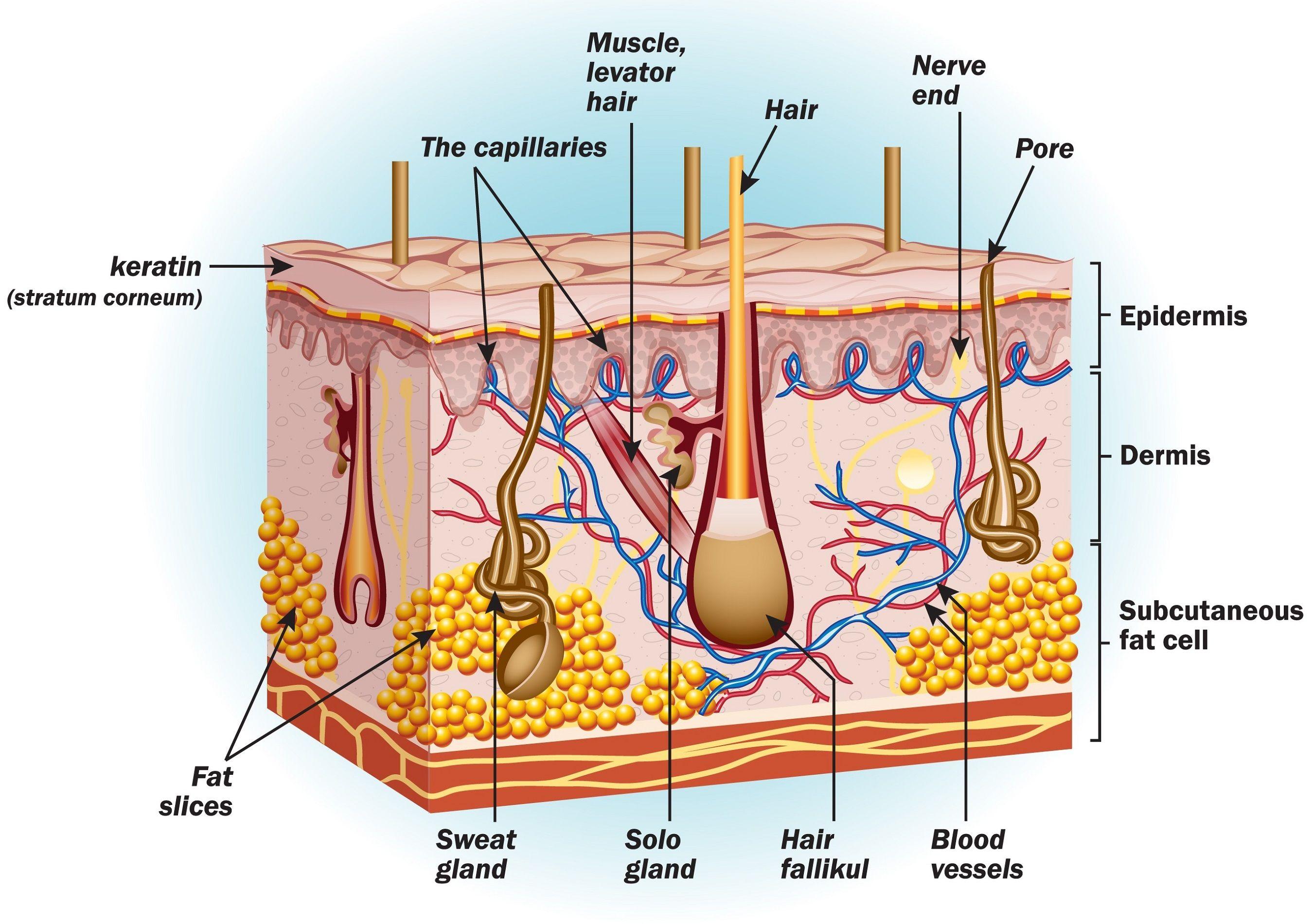 Human Skin Body Organs Diagram