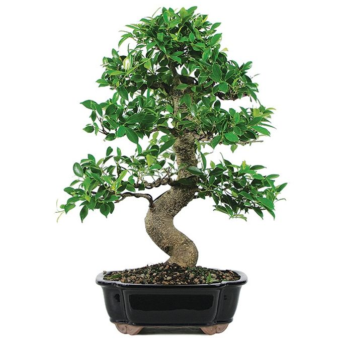 Golden Gate Ficus Bonsai Tree 15 Years Old 16 To 20 In Ceramic Bonsai Pot Indoor Bonsai Tree Japanese Bonsai Tree Bonsai Tree