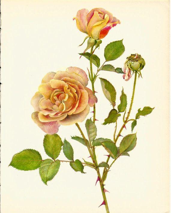 Stunning VINTAGE ROSE ILLUSTRATION Pink Rose Antique 1965 Botanical ...