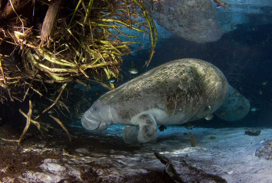 Three Sisters Springs Bank Stabilization Project. This project will restore habitat, including critical manatee habitat, and increase safety for visitors.