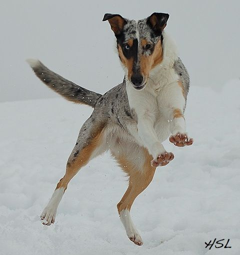 Smooth Blue Merle Collie
