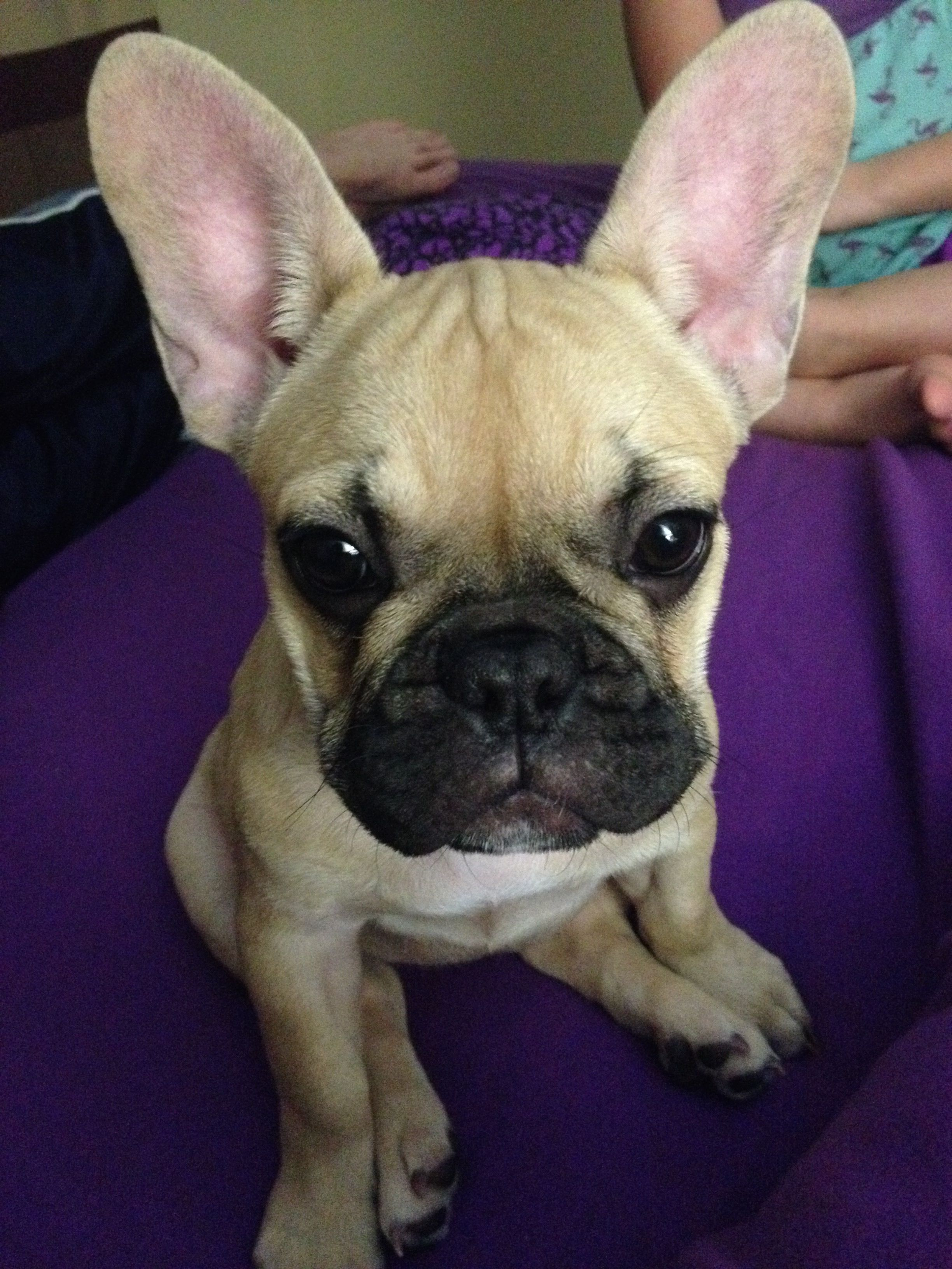 French Bulldog Puppy And Those Adorable Ears Cute Animals