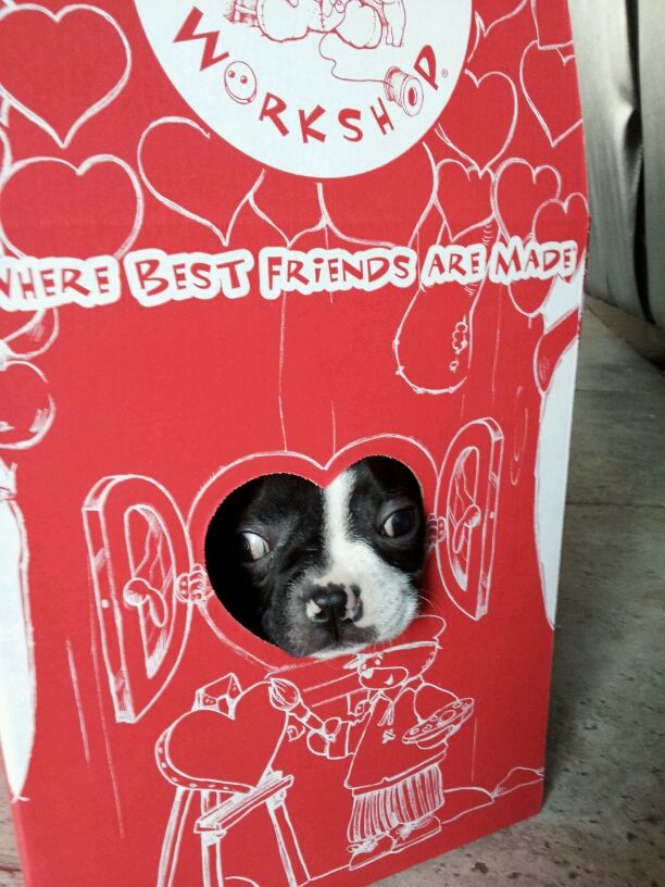 Lovely Pictures Of Boston Terrier Dogs For Valentine S Day Boston Terrier Dog Boston Terrier Terrier