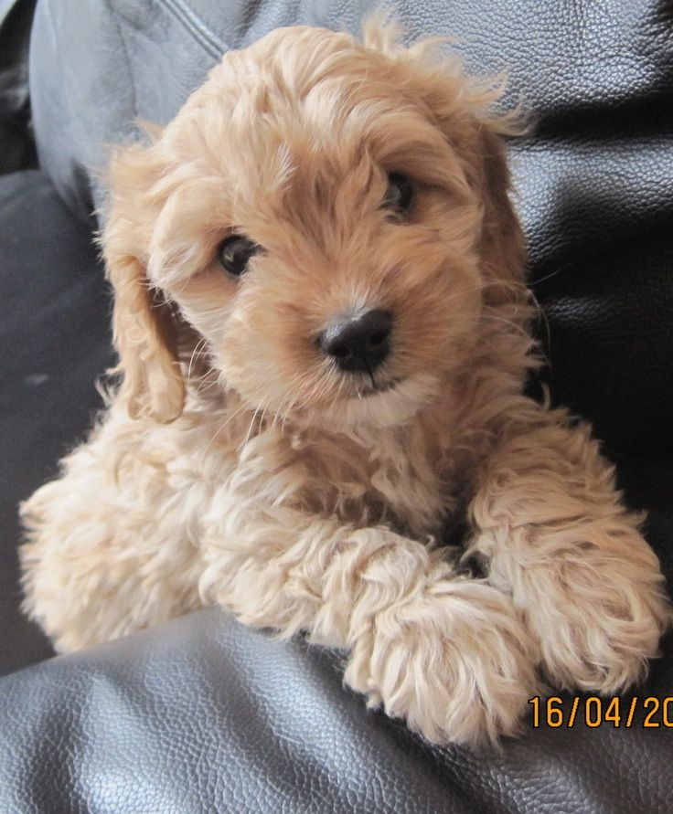 Cavoodle Puppy Puppies Cute Dogs Irish Dog