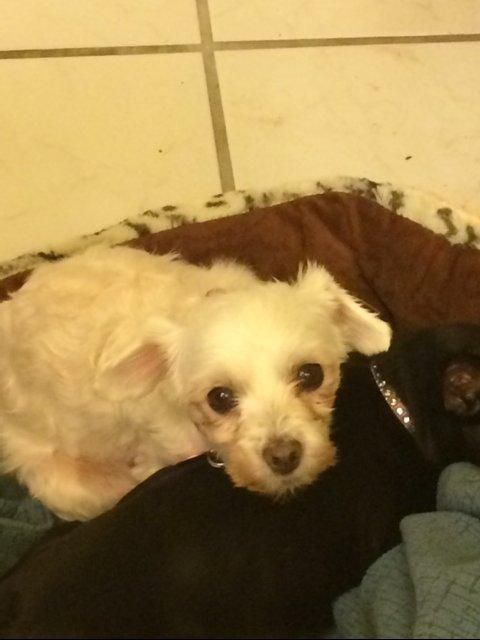 Adopt Winnie In Grand Rapids Mi On Havanese Dogs Dogs Grand Rapids