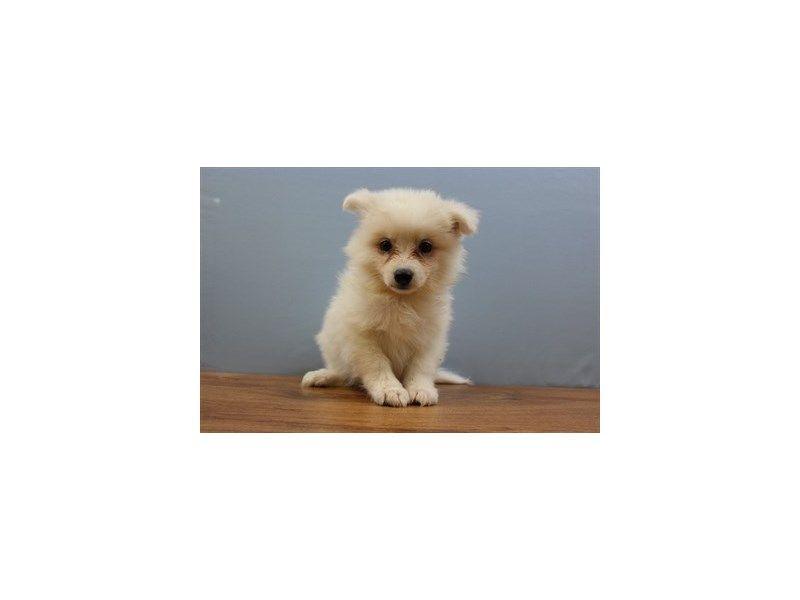 Petland Wichita, KS has American Eskimo puppies for sale