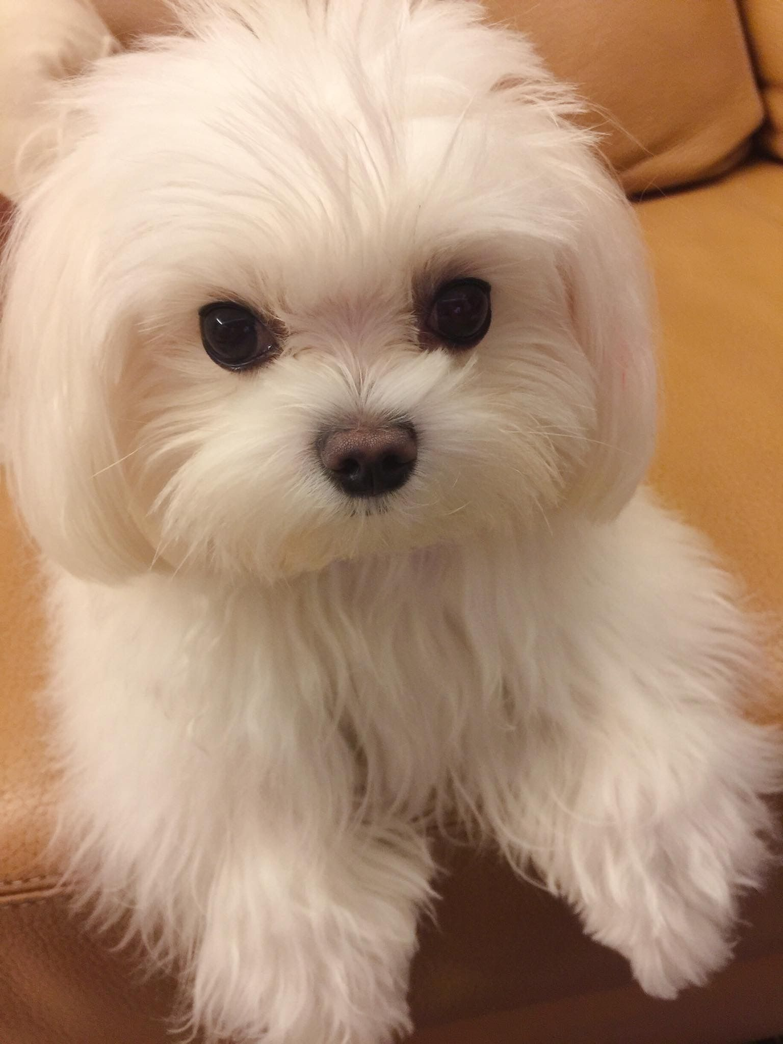Boo S First Haircut Maltese Dogs Forum Spoiled Maltese Forums