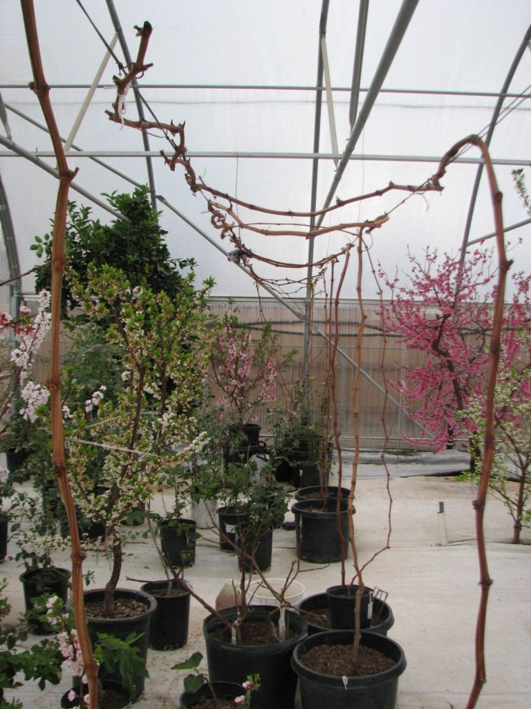 growing grape vines in containers gardening pinterest