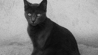 Kissa, Musta, Luonne, Eläimet