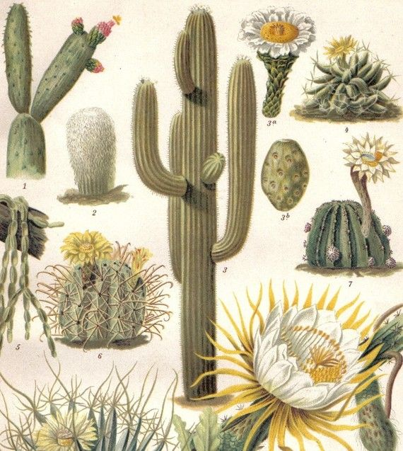 Cactus cacti saguaro queen of the night pink