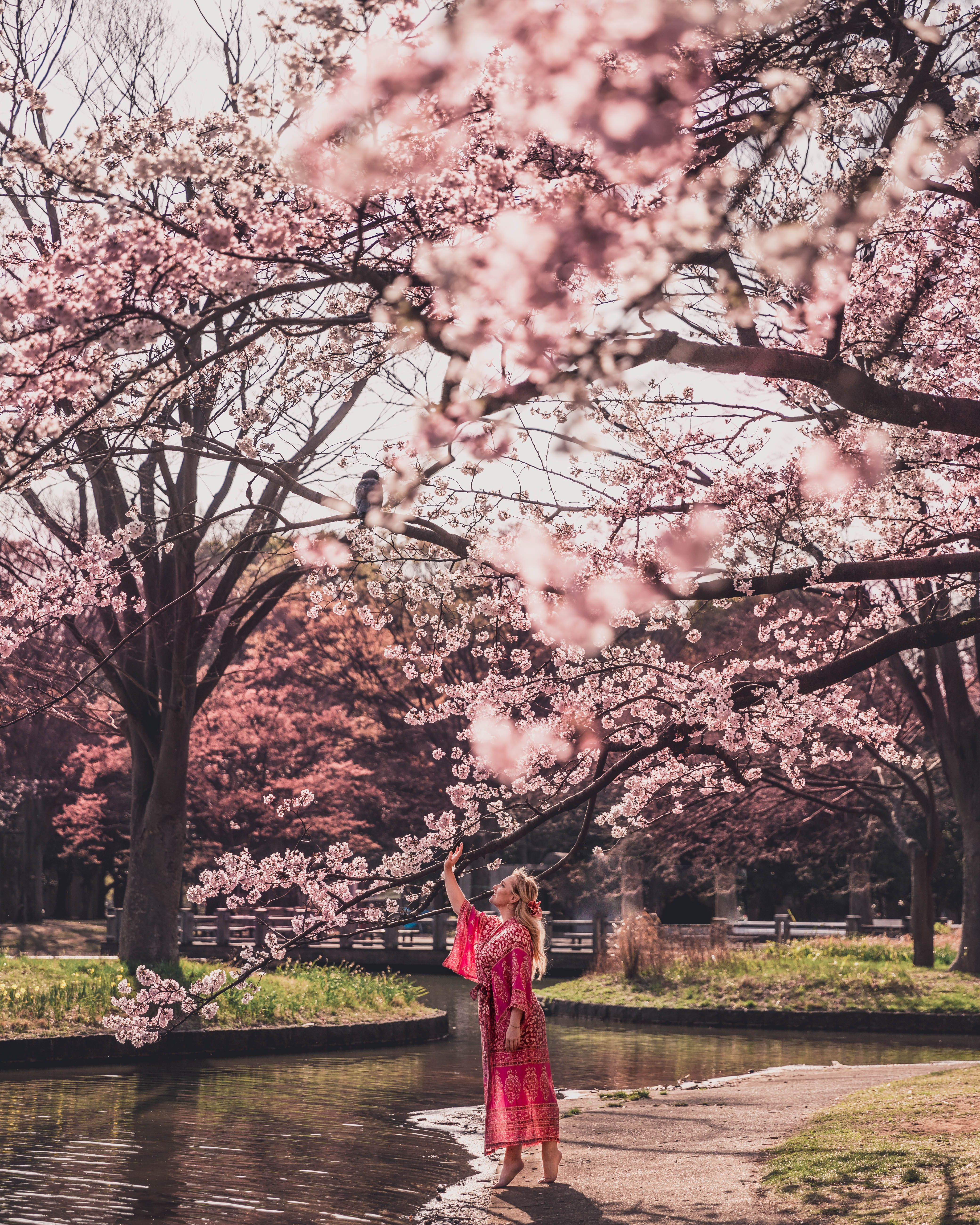 Things To Know About The National Cherry Blossom Festival In Washington Dc Washington Dc Cherry Blossom Festival Cherry Blossom Pictures Cherry Blossom Wallpaper