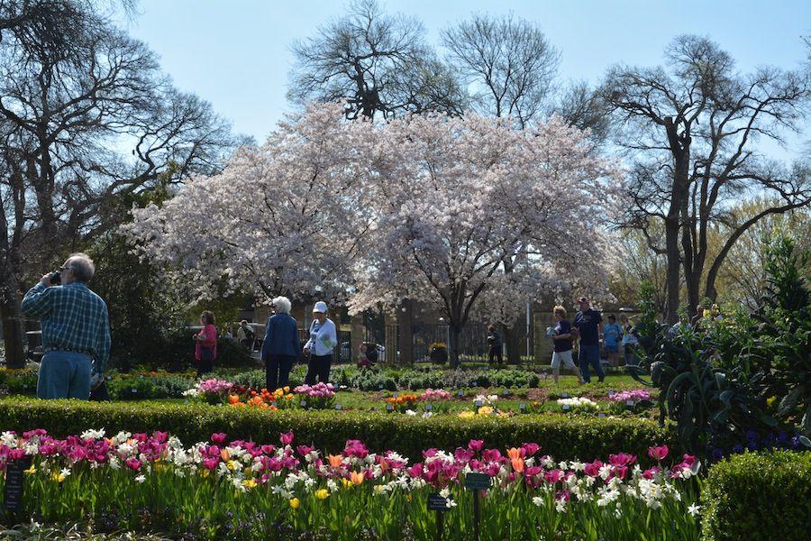 Cherry Tree Blossoms Dallas Blooms Dallas Arboretum Dallas Blooms Deep In The Hearts Of Texans Dallas Te Dallas Arboretum Cherry Blossom Tree Cherry Tree