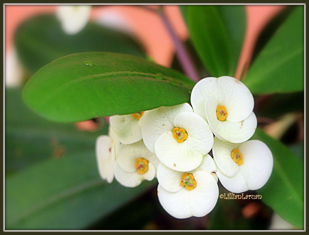 A cozy group tiny white flowers of the crown of thorns a cozy group tiny white flowers of the crown of thorns euphobiaceae i found growing near the clinic of kibungan philippines originalcontent origi mightylinksfo