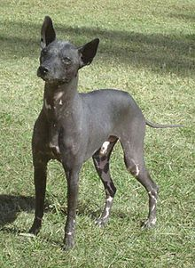 The Argentine Pila Dog Also Known As The Hairless Khala Is A