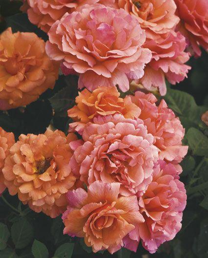 Easy Does It Floribunda Rose Planting Roses Rose Beautiful Roses
