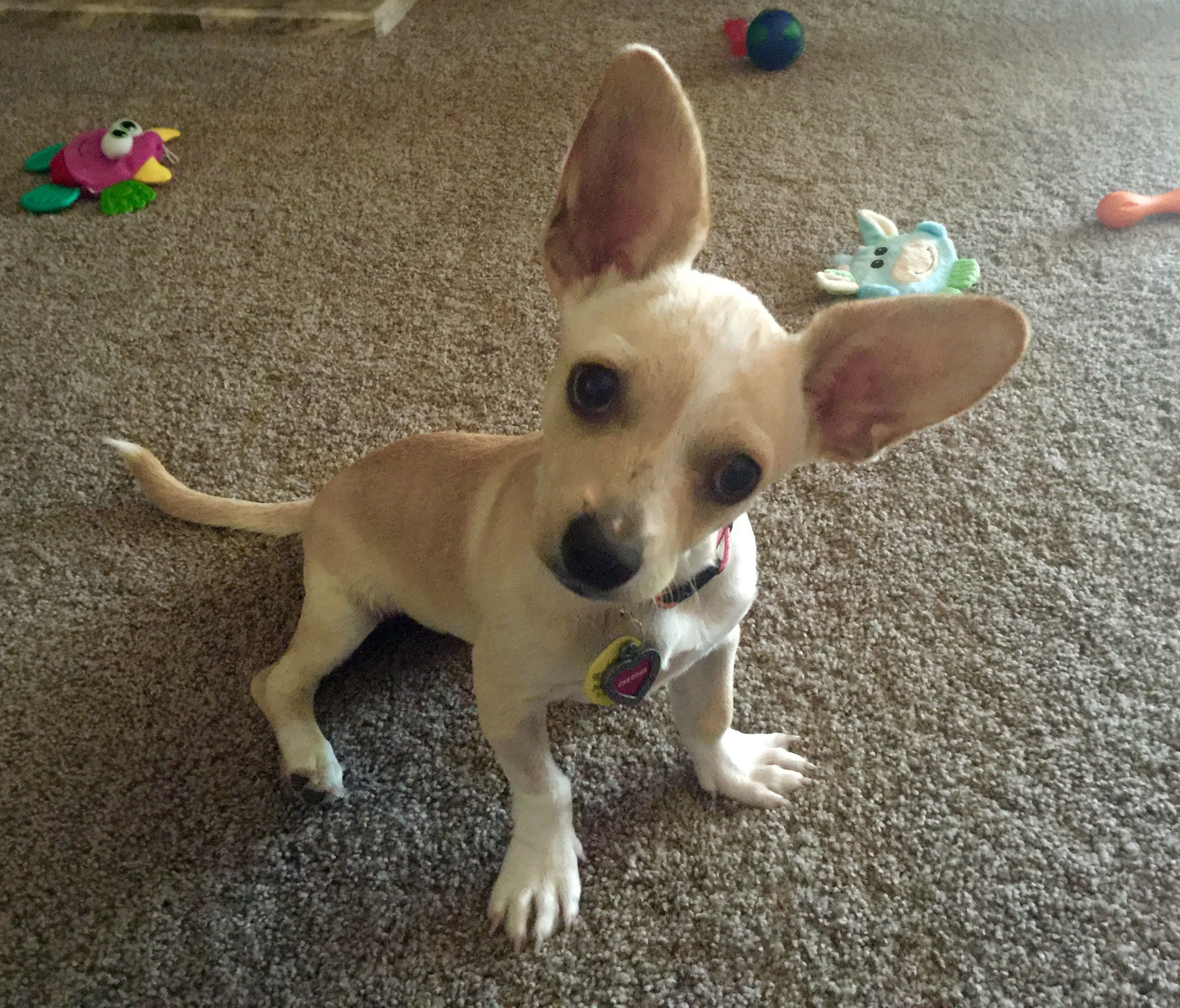 Our New Puppy Cheddar She S A Chihuahua Corgi Mix Chihuahuamix
