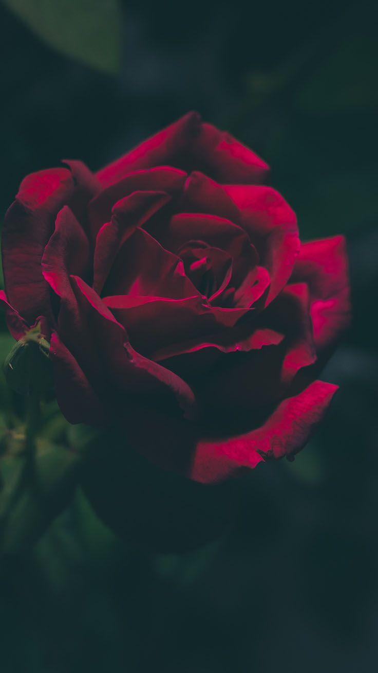 29 Romantic Roses Iphone X Wallpapers Preppy Wallpapers Red Roses Wallpaper Wallpaper Iphone Roses Rose Wallpaper