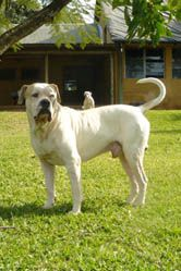 White Twister S Finn From Marina S Blue American Bulldogs In South
