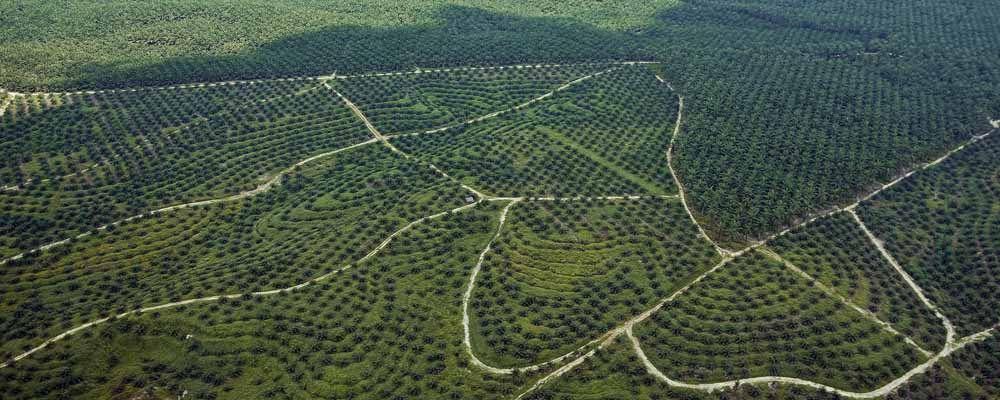Kebun Kelapa Sawit Terbesar Di Indonesia