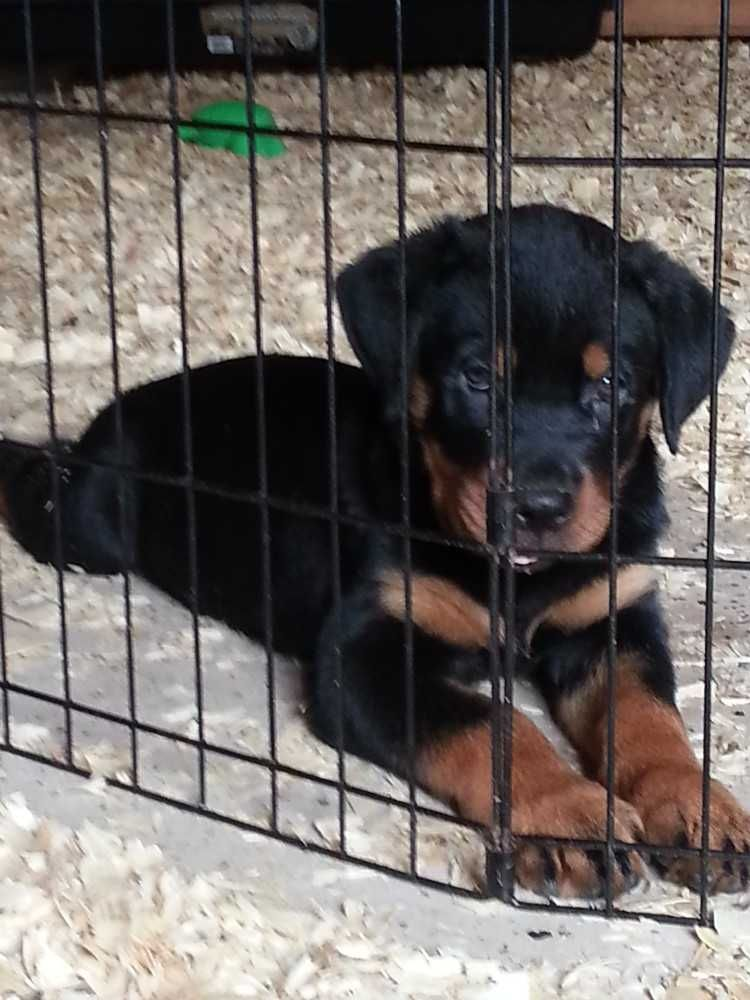 Image Result For Rottweilers Rottweiler Mastiff Puppies For