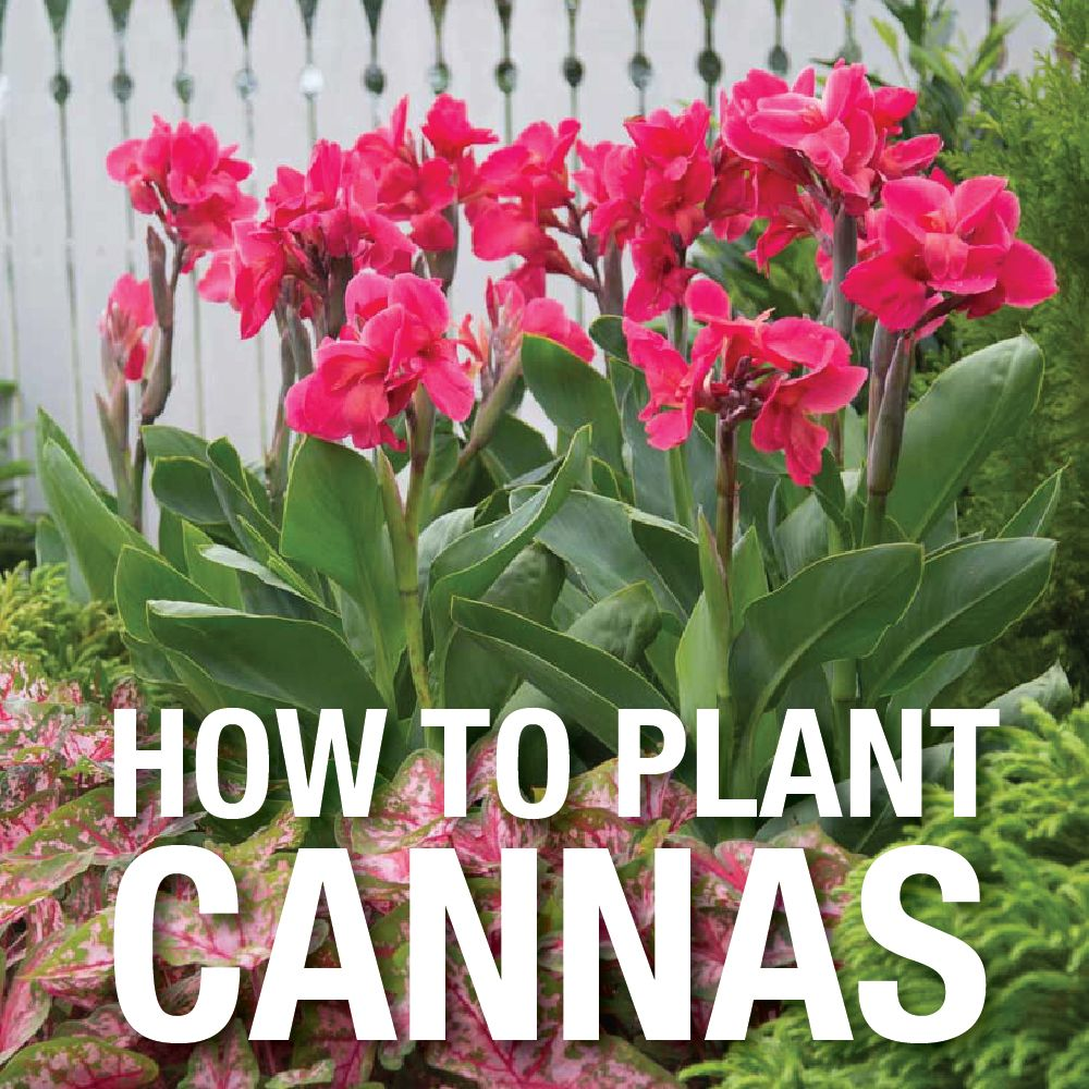Video How To Plant Canna Lily Bulbs Lily Bulbs Canna Lily