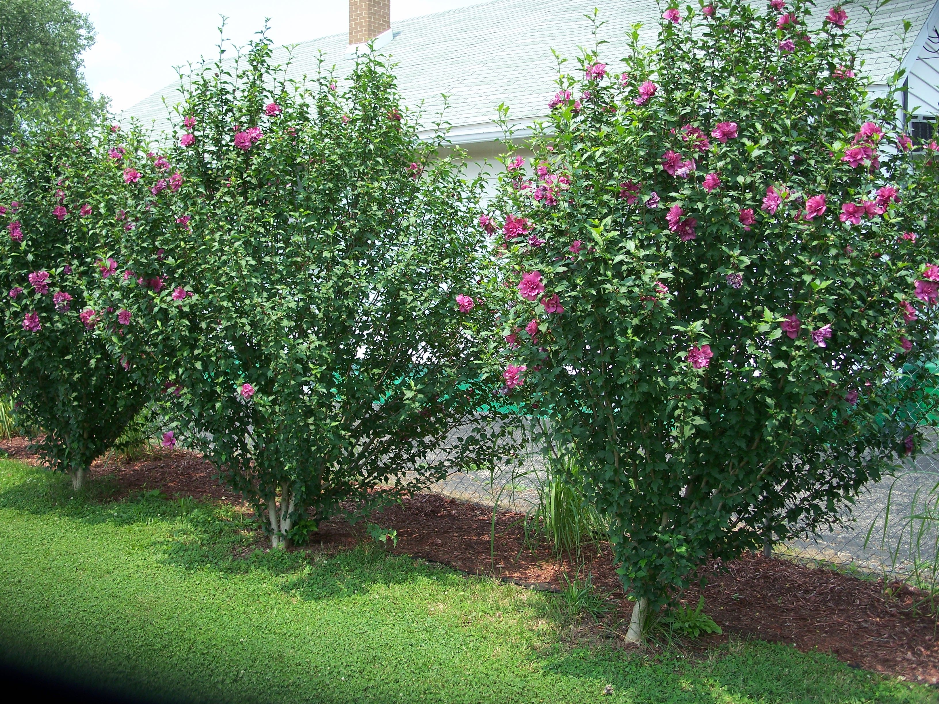 Rose Of Sharon Border Growing Shrubs Backyard Landscaping