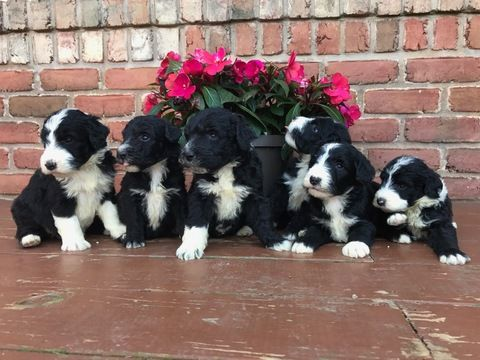 Sheepadoodle puppy for sale in ALEXANDRIA, IN  ADN-37135 on