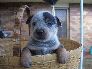 Pin By Janice Spyker On Animals Australian Cattle Dog Blue Heeler Blue Heeler Puppies Heeler Puppies