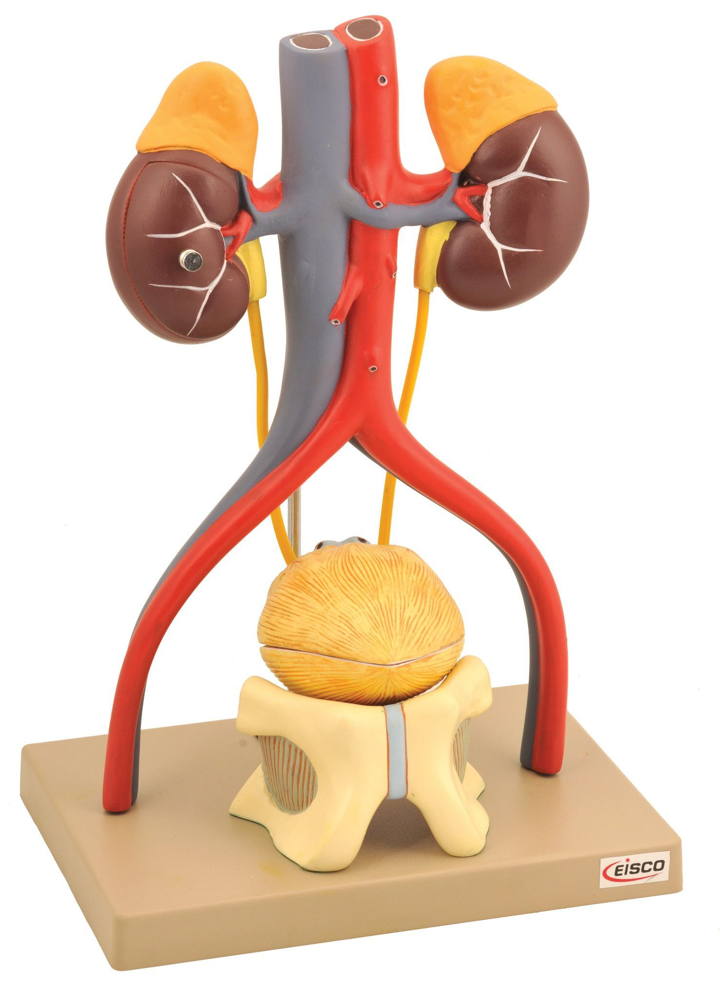 Eisco Labs Male Urinary System Model Life Size Free