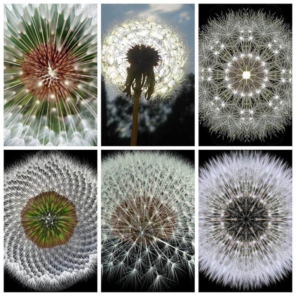 Dandelion Symmetry By Sciencephile Dandelion Geometry In Nature Fractals In Nature