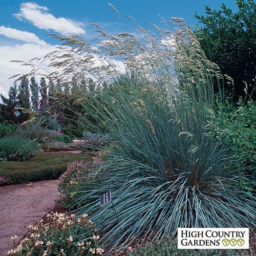 Blue Avena Gr Shines In The Garden With Its Bright Foliage And Tall Graceful Late Spring Flowering Spikes That Age To Tawny Brown By Mid Summer