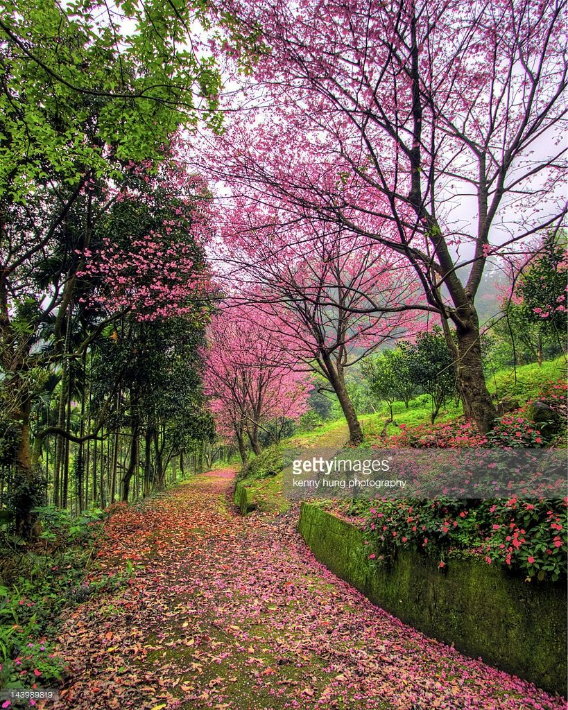 Pathway Of Cherry Blossoms Taiwan By Kenny Hung Cr Spring Landscape Japan Garden Watercolor Landscape