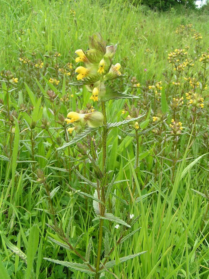 Yellow Rattle British Wild Flower Rhinanthus minor 100g Seed Bulk Packet