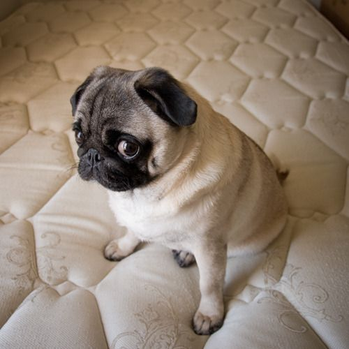 12 Reasons Why You Should Never Own Pugs Pugs Funny Cute Pugs
