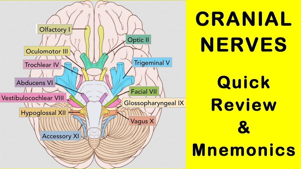 Cranial Nerves - Quick Review Facts and Mnemonics #nervoussystem ...