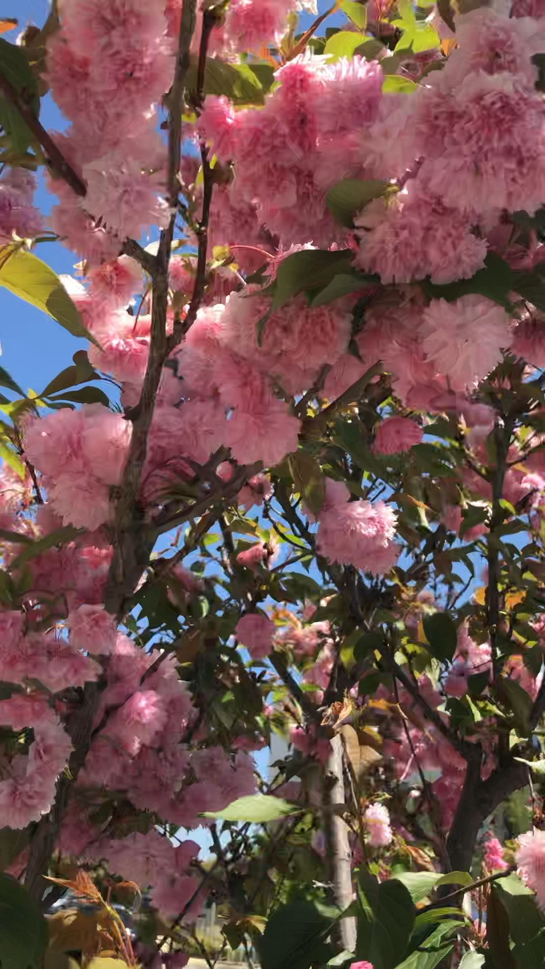 Cherry Blossoms Are My Favorite Color Video Cherry Blossom Tree Blossom Trees Cherry Blossom Drawing