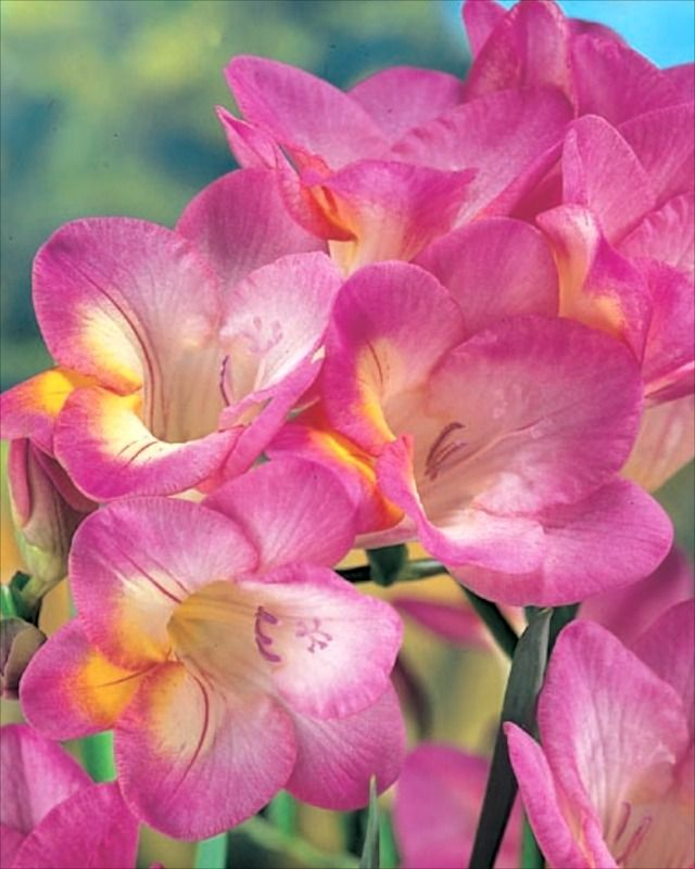 Freesia Single Pink Planting Today For Next Year Pink Plant Plants Flowers