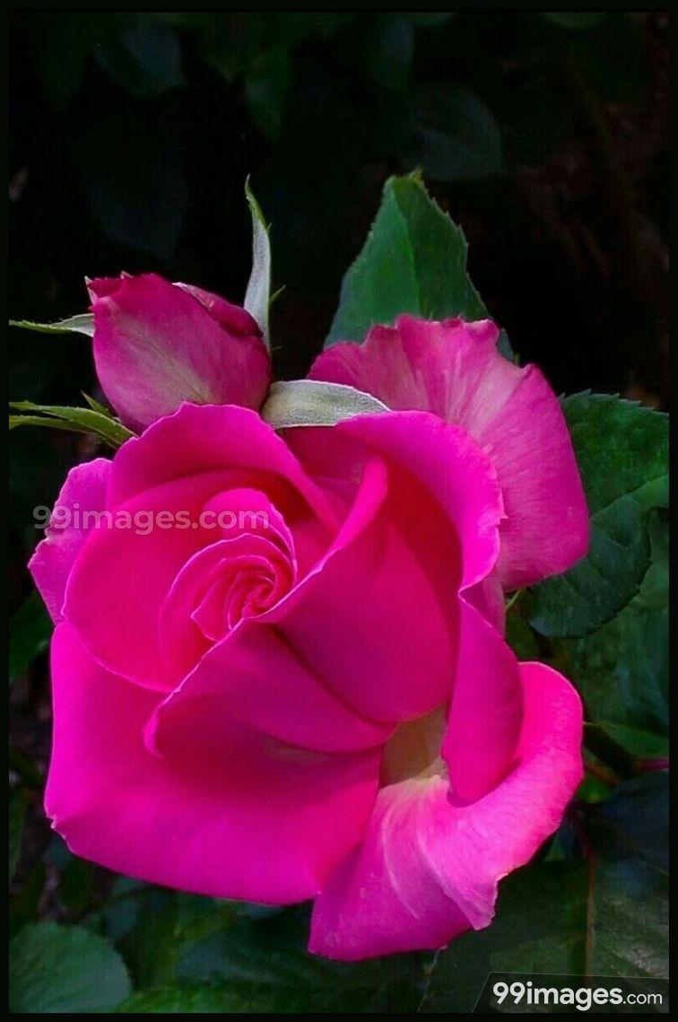 Roses Beautiful Hd Photos 1080p 8572 Roses Flower Love Yelloorose Whiterose Bluerose Redrose Wonderful Flowers Rose Flower Hybrid Tea Roses