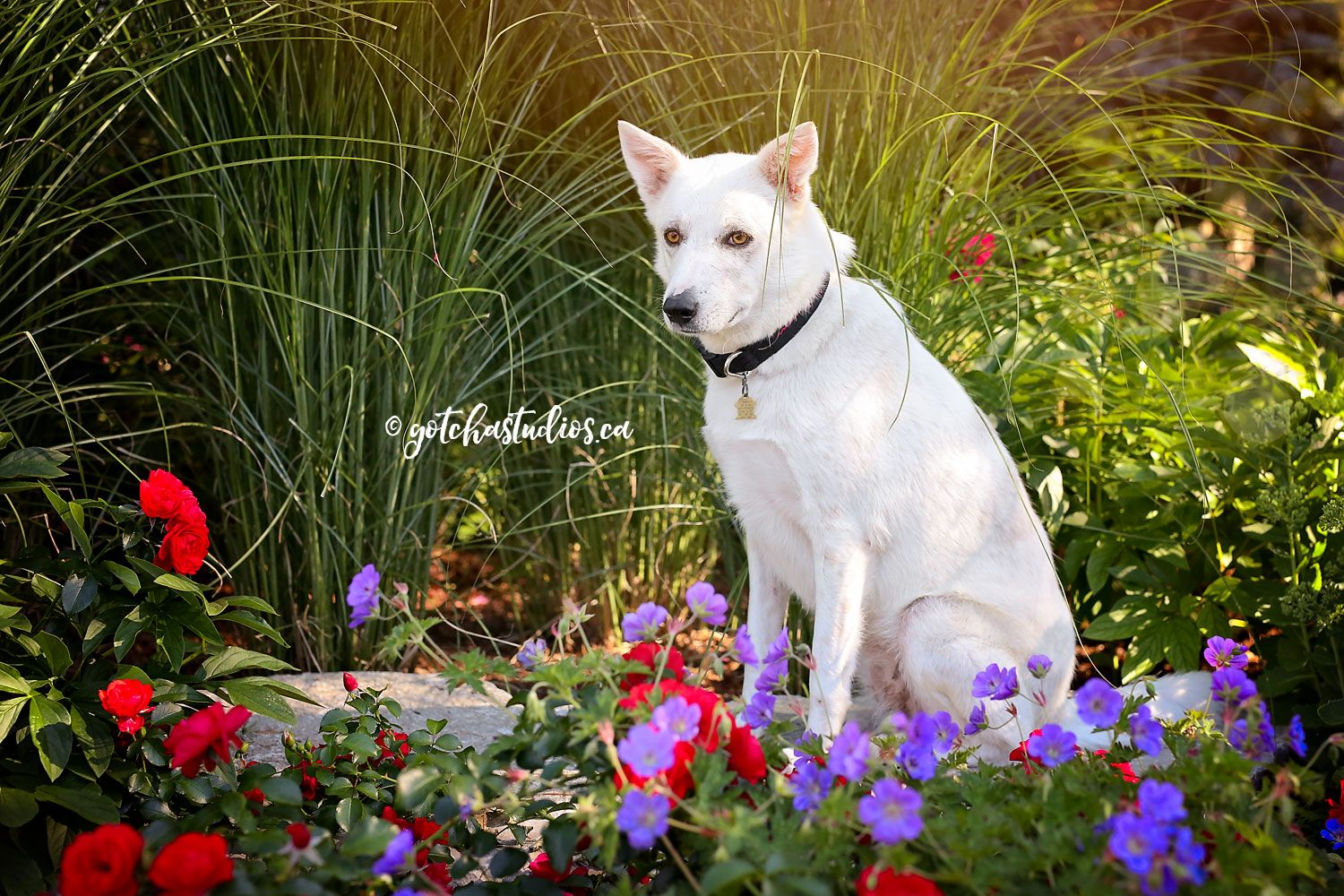 SHUSHA Dog Tales in King City, Ontario ADOPT OR FOSTER
