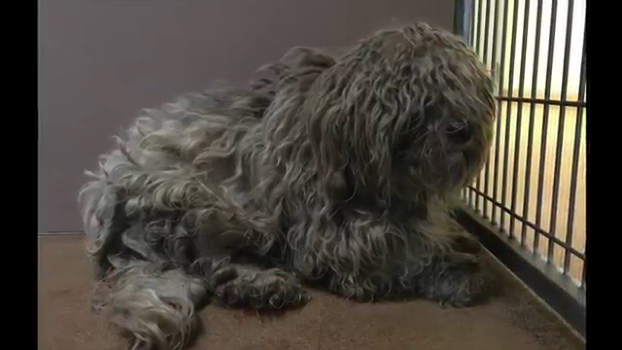 Doggie Makeover Terrified Matted Dog Gets Groomed Dogs