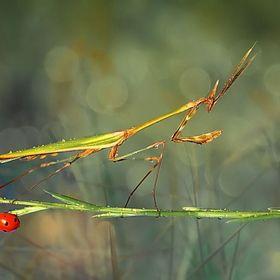 Mantis & Ladybug