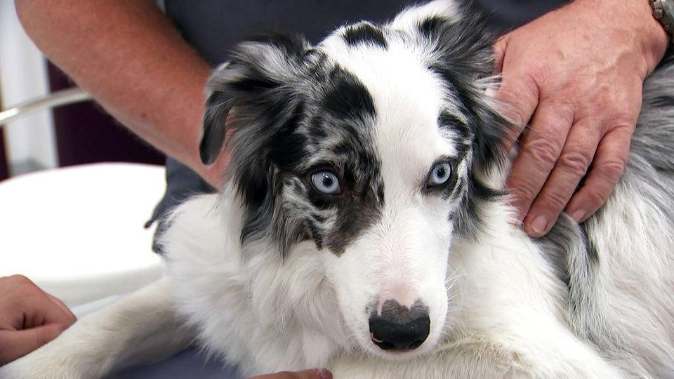 Durch Spezielle Zuchtungen Mit Gendefekten Konnen Hunde Extravagante Fellfarbungen Bekommen Auf Kosten Ihrer Gesund Hunde Tierschutzorganisation Hunde Rassen