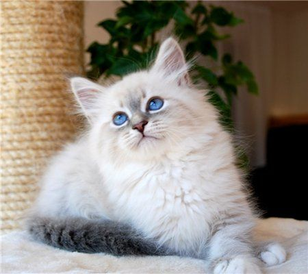 Beautiful Kitty With Gorgeous Blue Eyes Siberian Cat Pics Of