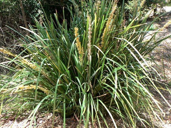 Lomandra Longifolia Spiny Headed Mat Rush Lomandra Landscaping Plants Native Plants