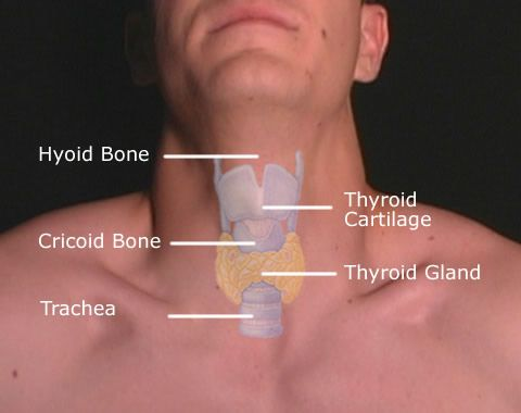 The Adams Apple Clinically Known As The Laryngeal Prominence Is A