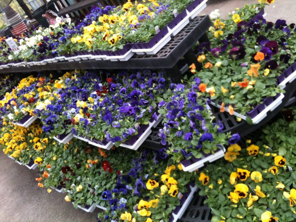 It's Pansy planting time...) Pansies, Plants, Patio garden