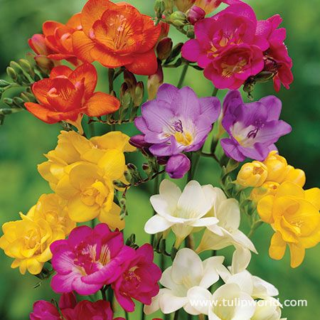Mixed Freesia Value Pack Freesia Flowers Beautiful Flowers Biennial Plants