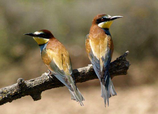 Animals del nostre entorn: Ocells - L'abellerol