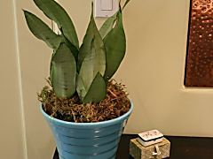 Sansevieria: A Favorite Houseplant for Low Light