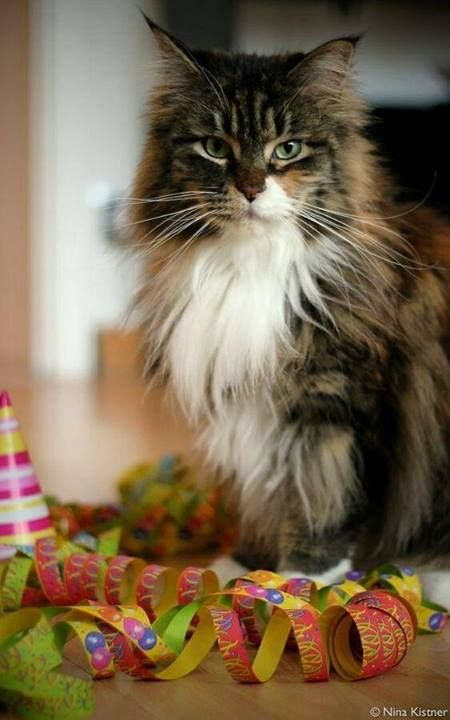 Maine Coon ! Most beautiful cats in da world !
